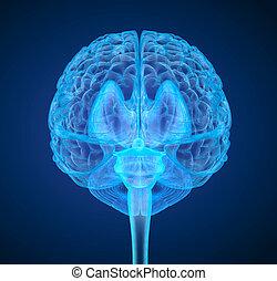 gehirn, genau, überfliegen, abbildung, medically, menschliche , röntgenaufnahme, 3d