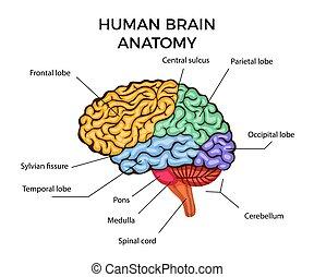 gehirn, menschliche anatomie