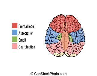 gehirn, menschliche anatomie, zusammensetzung