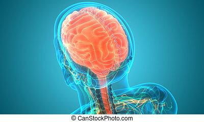 gehirn, organ, nervös, zentral, koerperbau, system, menschliche