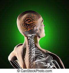 gehirn, röntgenaufnahme, menschliche , überfliegen