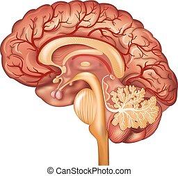 Gehirn- und Blutgefäße des Gehirns