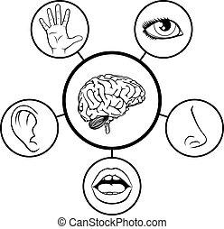 Gehirn und fünf Sinne.