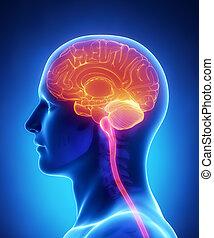 Gehirnanatomie - Querschnitt.