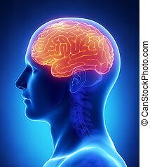 Gehirnzellen-Anatomie - Querschnitt