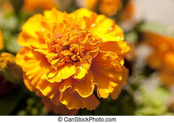 Gelbe Orangenblüte Marigold