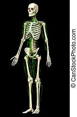 geleistet, abbildung, lymphatisches system, genau, 3d, medically