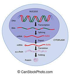 Gene Expression, Eps8