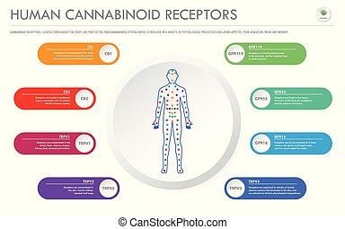 geschaeftswelt, menschliche , rezeptoren, infographic, horizontal, cannabinoid