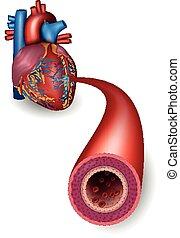 gesunde, arterie, koerperbau, herz