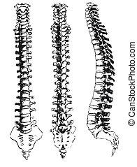 gezeichnet, segmente, hand, spinal