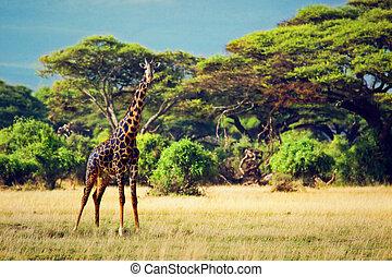Giraffe auf Savana. Safari in amboseli, kenya, afrika