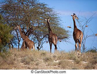 Giraffes auf Savana. Safari in amboseli, kenya, afrika