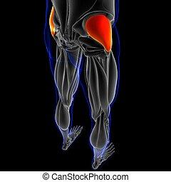 gluteus, medius, 3d, muskel, abbildung, koerperbau, begriff, medizin
