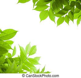 Grün verlässt die Grenze für einen Winkel über einem weißen Hintergrund - Wisteriablatt