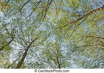 Grüne Bäume fotografierten von Bellow gegen den blauen Himmel .