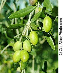 Grüne Oliven auf einem Baum.