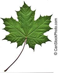 Grünes Ahornblatt
