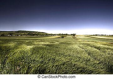 Grünes Getreide am windigen Tag.