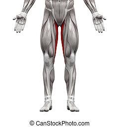 gracilis, muskeln, -, freigestellt, abbildung, koerperbau, weißes, muskel, 3d