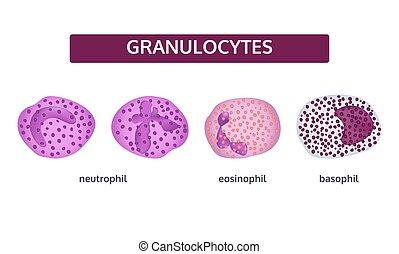 Granulocytes weiße Blutzellen.