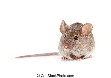 Graue Maus isoliert auf weiß