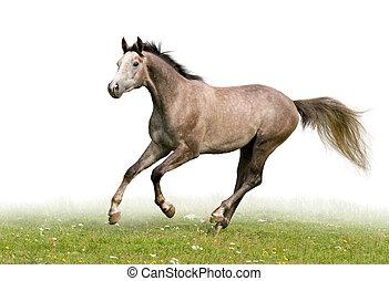 Graues Pferd isoliert auf weiß