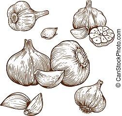Gravierende Illustration von Knoblauch.