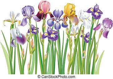 Grenze von mehrfarbigen Irisblumen.