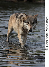 Grey Wolf Canis Lupus.