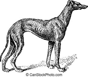 Greyhound, klassische Gravur