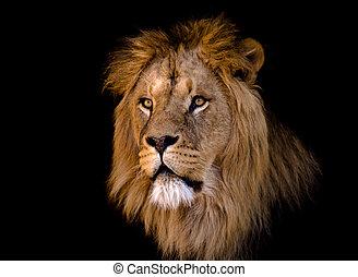 Großer afrikanischer männlicher Löwe