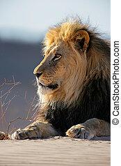 Großer männlicher afrikanischer Löwe