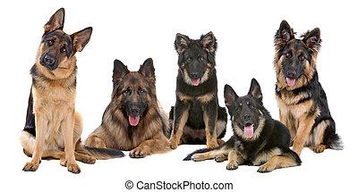 Gruppe deutscher Schäferhunde