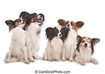 Gruppe von fünf papillon-Hunden