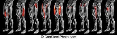 höher, satz, muskel, bein, koerperbau, 3d, sammlung, anatomisch, oder, menschliche