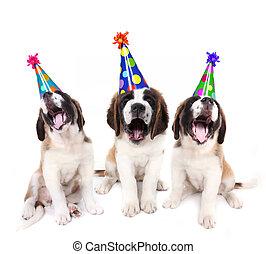 hüte, bernard, geburstag, heilige, hundebabys, party, singende