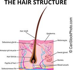 haar, struktur