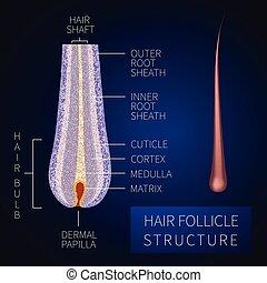 haarbalg, struktur