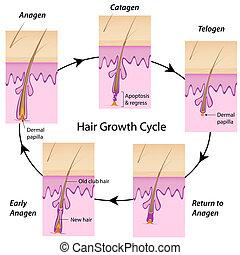 Haarwachstumszyklus, Eps 10.