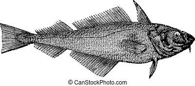 Haddock oder Offshore-Hake oder Melanogrammmus-Aeglefinus, Jahrgang