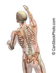 Halbtransparente Muskeln mit Skelett - wenden und greifen