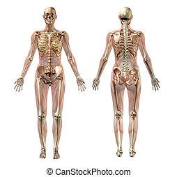 Halbtransparente weibliche Anatomie