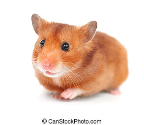 Hamster über weiß