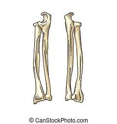 Hand gezeichnete realistische menschliche Knochen.