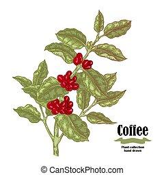 Hand gezeichneter Kaffeezweig mit Beeren und Blättern isoliert auf weißem Hintergrund. Vector Illustration.