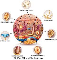 Hautanatomie und sensorische Rezeptoren in der Haut