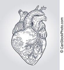 heart., abbildung, hand, vektor, menschliche , gezeichnet, graviert