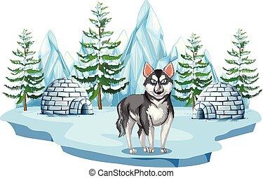 heiser, arktisch, sibirisch, hund