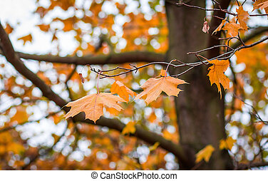 Herbstahornblätter mit flachem Hintergrund